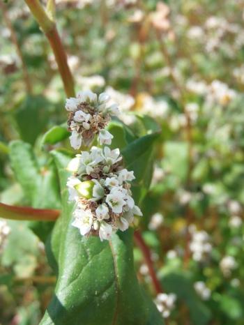 Fleur de sarrasin - Farine à la ferme dans le Loiret - Orléans. Free Gluten